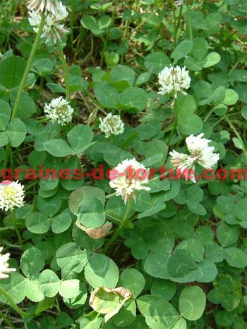 graines de tr fle blanc trifolium repens par graines de. Black Bedroom Furniture Sets. Home Design Ideas